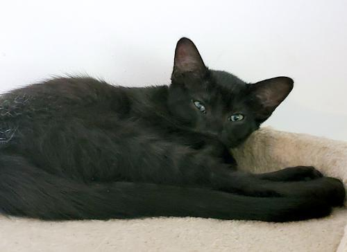 Azure, an adoptable Domestic Short Hair Mix in Springfield, OR