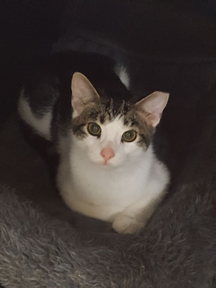 Dash, an adopted Domestic Short Hair Mix in Stanton, KY_image-2