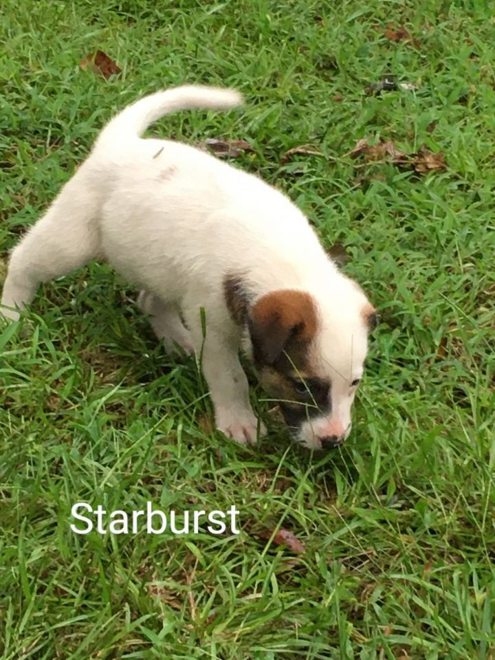 Starburst, an adopted Terrier & Hound Mix in Saint Augustine, FL