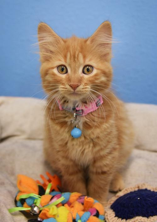 Wilma, an adopted Domestic Medium Hair Mix in Monticello, IA