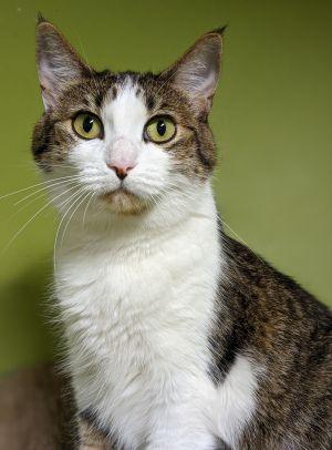 Bug Domestic Short Hair Cat
