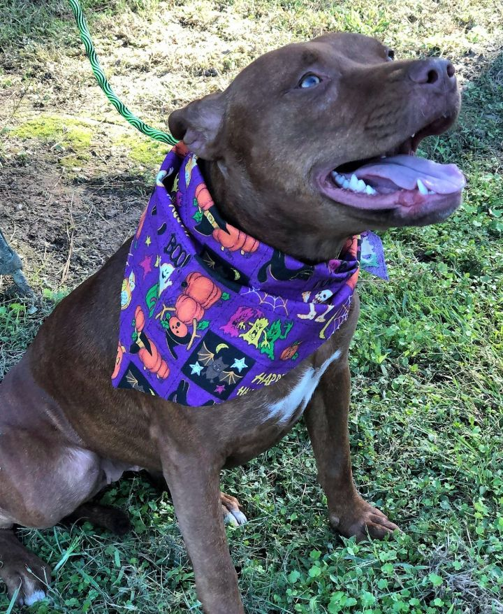 Gypsy Lou, an adopted Pit Bull Terrier Mix in Northwood, NH