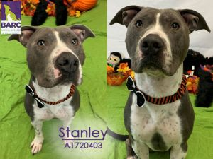 Stanley is in a foster home Email BARCFosterhoustontxgov to meet him