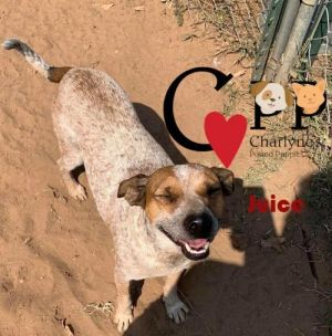 Juice appears to be a red heeler mix of short stature Approximately 3 years old neutered and up to