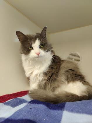 Missy, an adoptable Domestic Long Hair Mix in Bellingham, WA