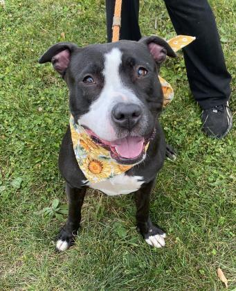 Jules, an adoptable Staffordshire Bull Terrier Mix in Clarks Summit, PA