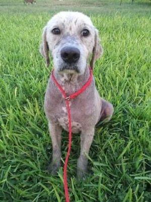 Charlie (TX) Labrador Retriever Dog