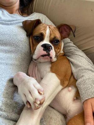 Athena (TX) Boxer Dog