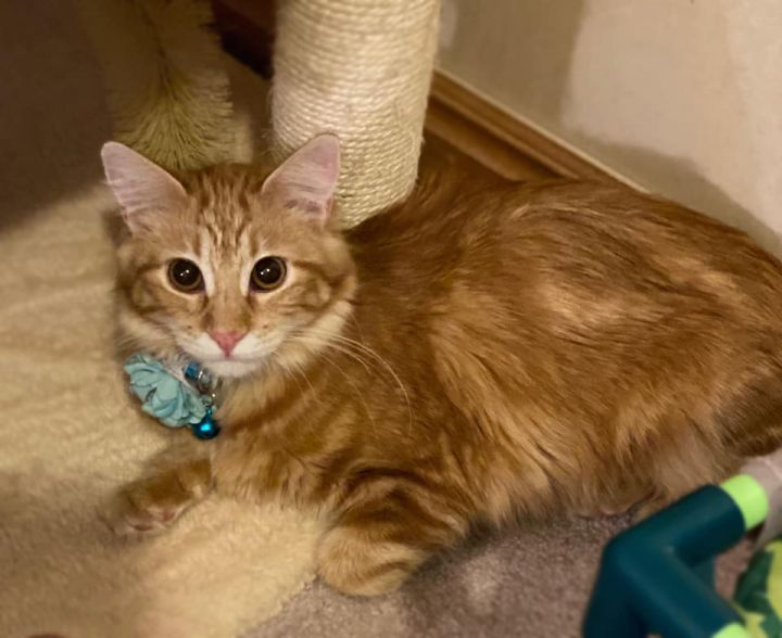 Fox, an adoptable Domestic Long Hair in Centerville, UT