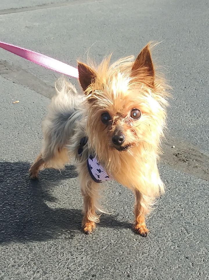 Cherri, an adoptable Yorkshire Terrier in Maumee, OH