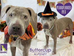 This pet is currently in foster care Please email BARCfosterhoustontxgov to meet it