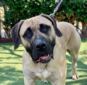 This is Major He is a three year old English Mastiff mix and he is 110 pounds of pure love
