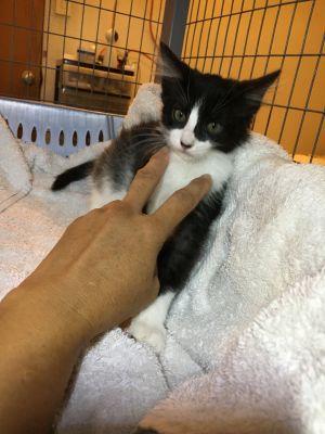 Rocky Domestic Medium Hair Cat