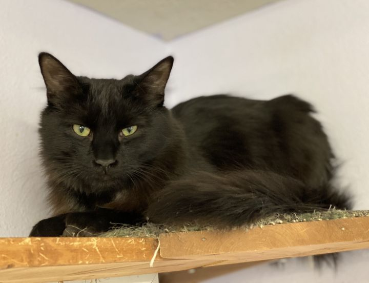 Fred, an adoptable Domestic Medium Hair in Pierre, SD