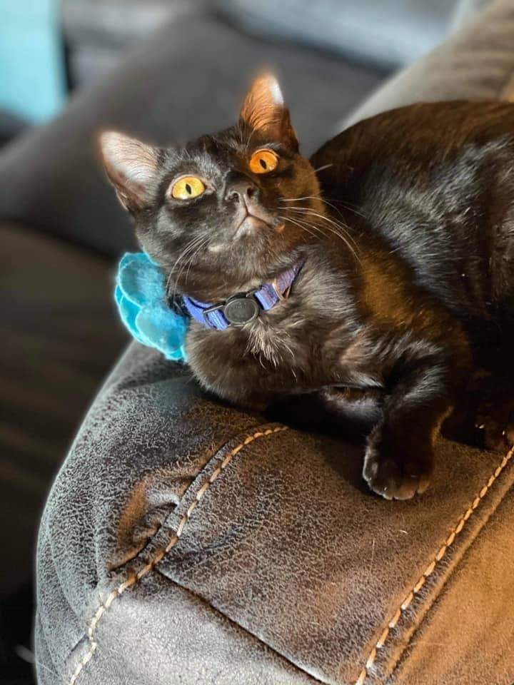 Stormfly, an adoptable Domestic Short Hair Mix in Springfield, MO