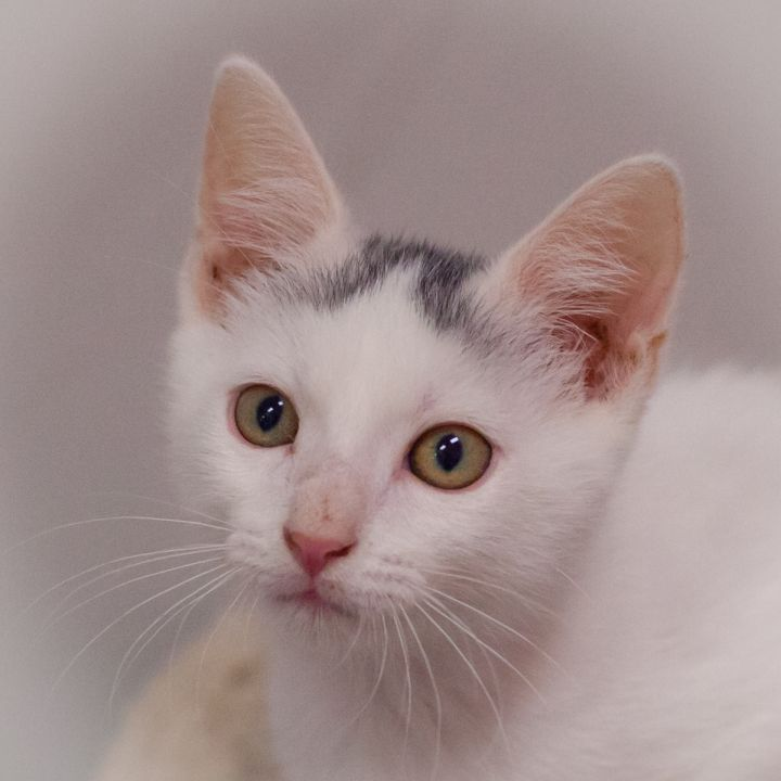 Daffodil, an adoptable Domestic Short Hair in St Augustine, FL