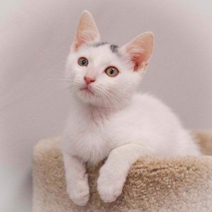 Dianthus, an adoptable Domestic Short Hair in Ponte Vedra, FL