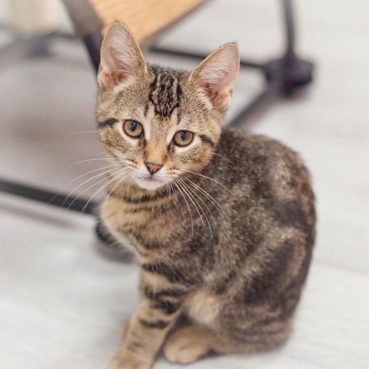 Murphy, an adopted Domestic Short Hair & Tabby Mix in Ponte Vedra, FL