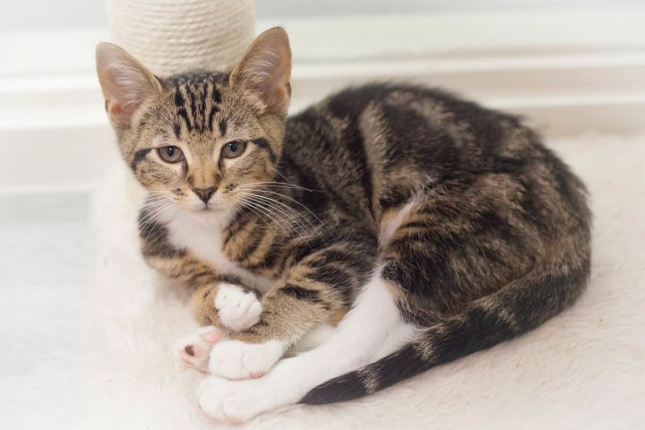 Merrick, an adopted Domestic Short Hair & Tabby Mix in Ponte Vedra, FL