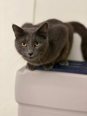 Karter is a beautiful 2 12-year-old blue-gray with gorgeous green eyes Karter is one of the first