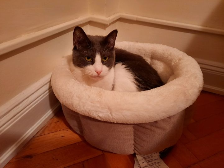Alistair, an adoptable Domestic Short Hair in Ardsley, NY