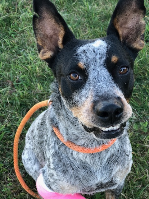 Sterling, an adoptable Australian Cattle Dog / Blue Heeler in Long Beach, NY