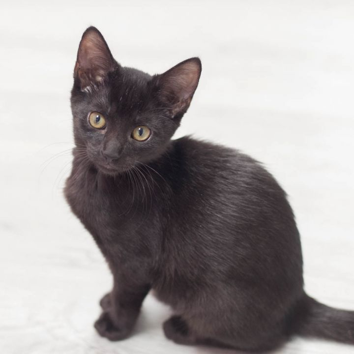 Jasper, an adopted Domestic Short Hair in Ponte Vedra, FL