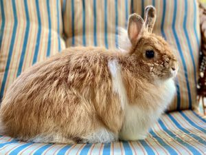 Pumpkin is a sweet adult rabbit who does best in a peaceful environment This round ball of fluff li