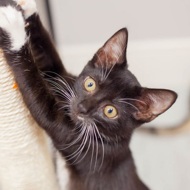 Janie, an adopted Domestic Short Hair in Ponte Vedra, FL