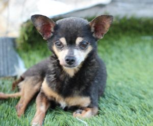 Enzo was left for dead on a road in near Oakland With an old injury to his rear legs he