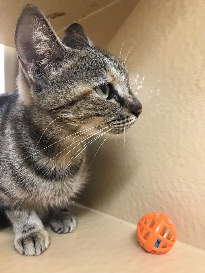Shelby, an adoptable Domestic Short Hair in Fort Lauderdale, FL