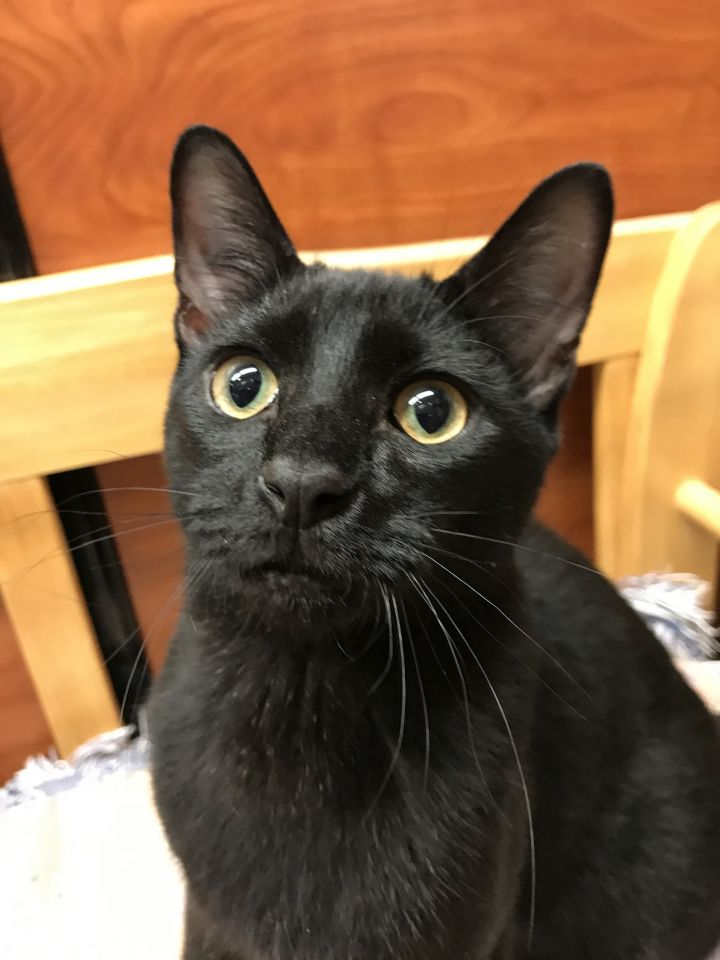 Beastie, an adoptable Domestic Short Hair in Fort Lauderdale, FL