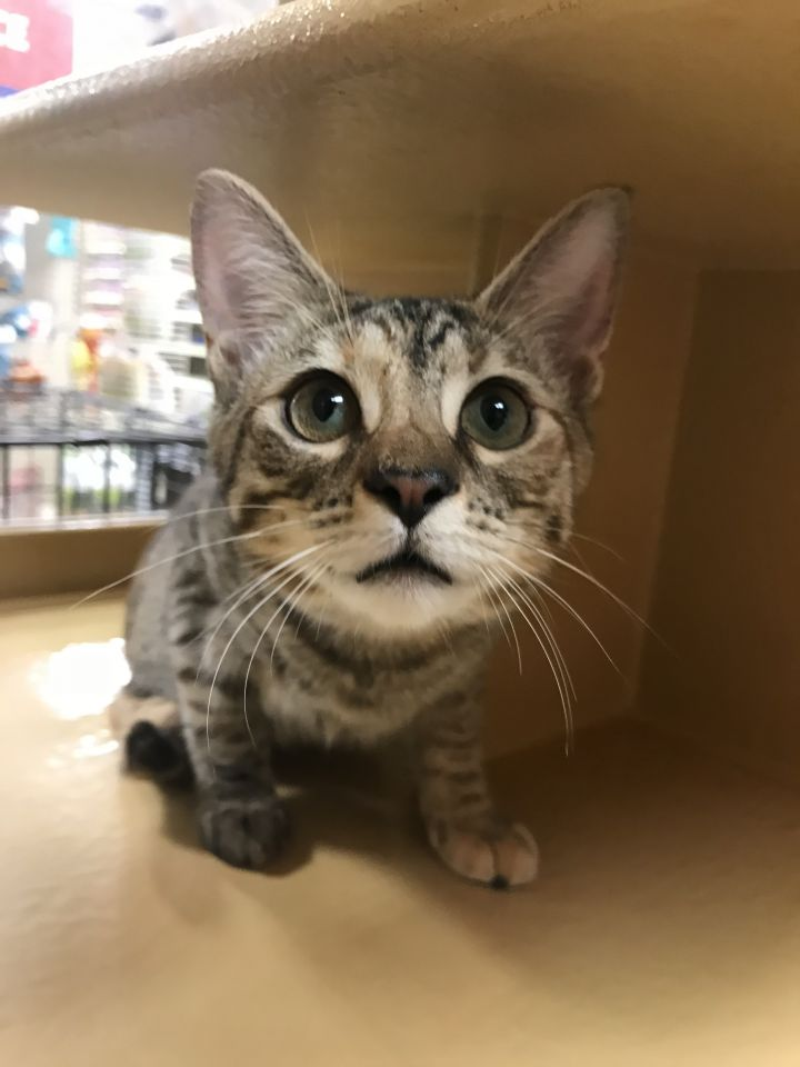 Hope, an adoptable Domestic Short Hair in Fort Lauderdale, FL