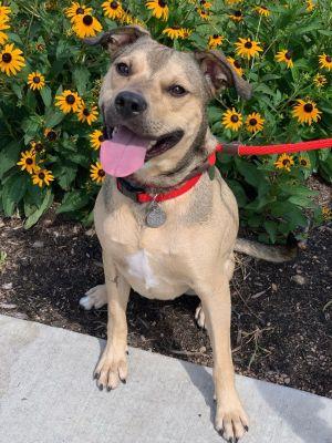 Conrad German Shepherd Dog Dog