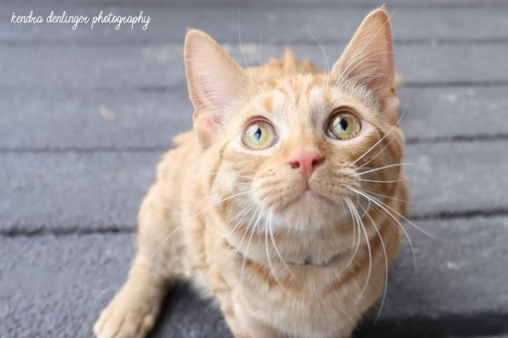 Ay - Sponsored Fee, an adoptable Domestic Short Hair Mix in Cincinnati, OH
