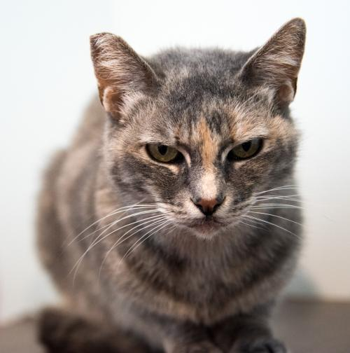 Tupie, an adoptable Dilute Tortoiseshell & Domestic Short Hair Mix in Springfield, OR