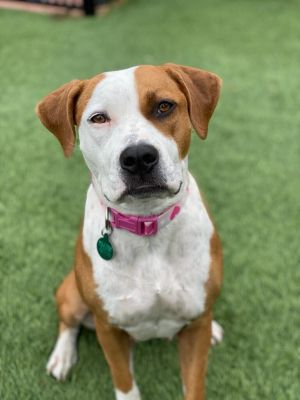 This adorable pitty mix is available for adoption She is around 16 months old