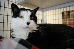 Eugene Levy is an 8 year old neutered male tuxedo cat who came to us when his previous owner could