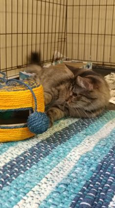 Lou, an adoptable Domestic Medium Hair & Tabby Mix in Manhattan, KS
