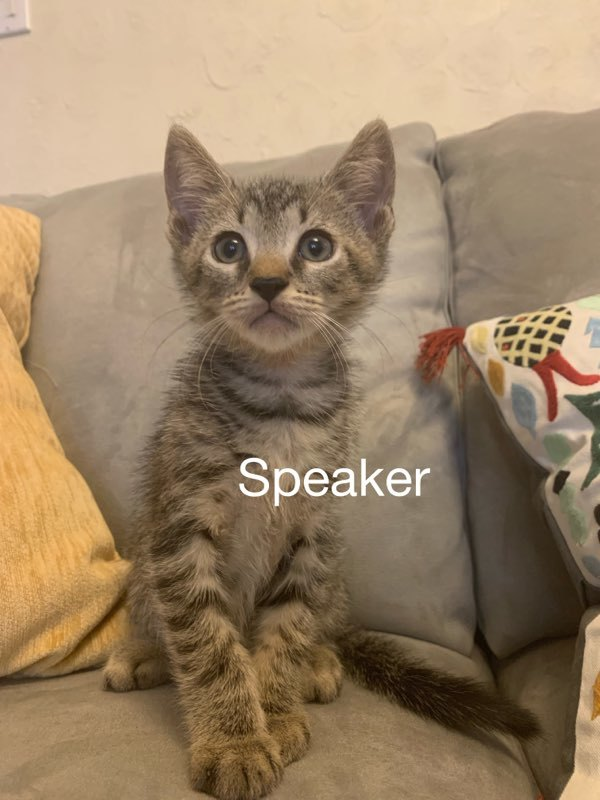Speaker, an adoptable Tabby & Domestic Short Hair Mix in Miami, FL