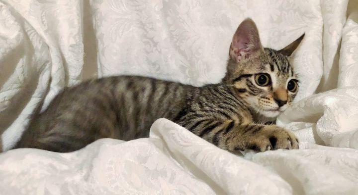 Roo, an adoptable Domestic Short Hair in Mission Viejo, CA