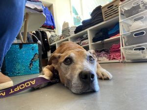 Walter is a 10yo neutered male 48lbs Carolina dog Hound mix Personality Friendly Gentle Sweet S