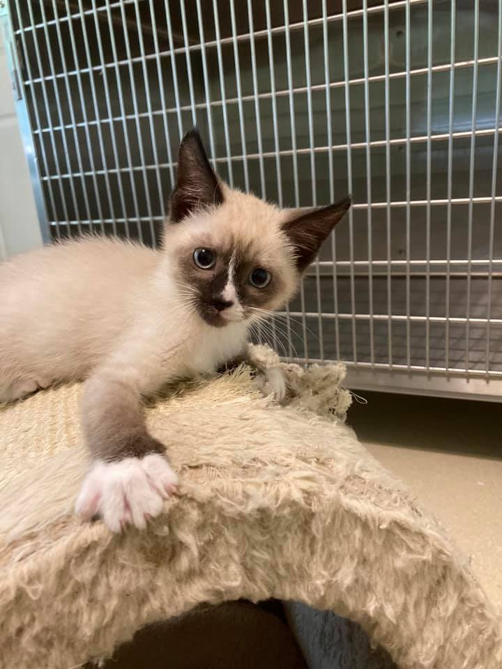 Cat For Adoption Sweet Tart A Siamese Domestic Short Hair Mix In Dellslow Wv Petfinder