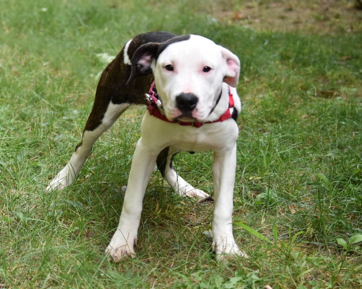 Phoenix, an adopted Pit Bull Terrier in Bloomfield, CT