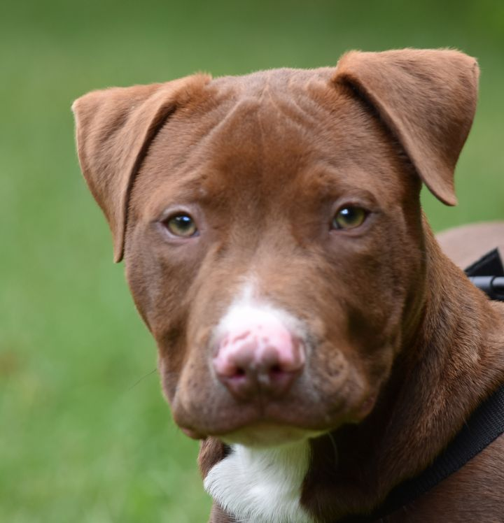 Neo, an adopted Pit Bull Terrier in Bloomfield, CT_image-2