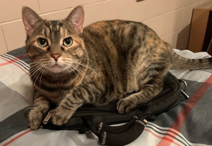 Olivia, an adoptable Torbie in Waverly, IA