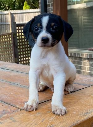 NJ RESIDENTS ONLY THIS PET IS AVAILABLE UNLESS PREADOPTED APPEARS NEXT TO NAME JRTbeagle mix 7