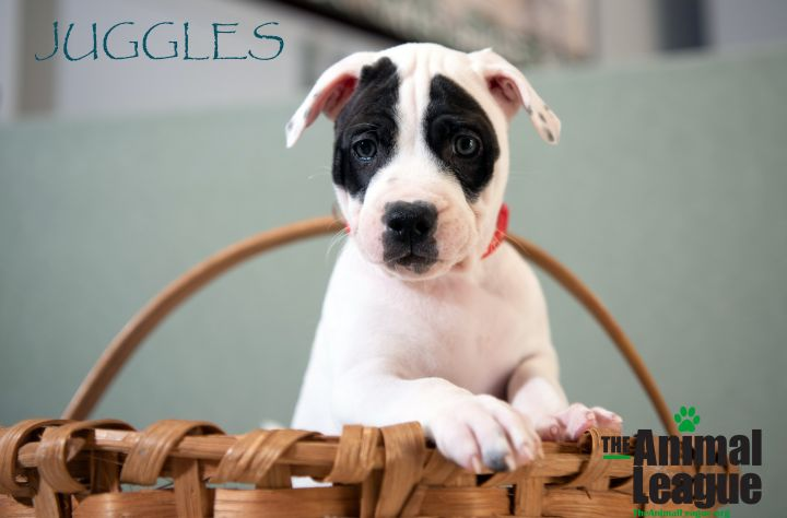 Juggles, an adoptable American Bulldog & American Staffordshire Terrier Mix in Clermont, FL