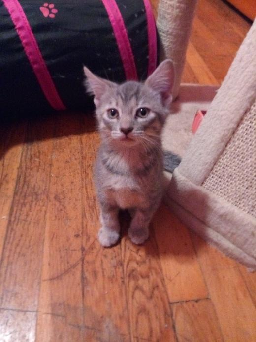Cindy Brady, an adoptable Domestic Short Hair in Oak Forest, IL