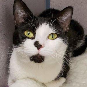 Nerissa Domestic Short Hair Cat
